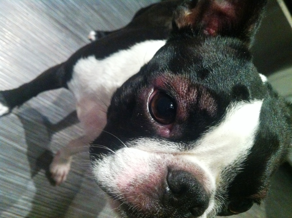 Boston Terrier Hives Goldenacresdogs Com
